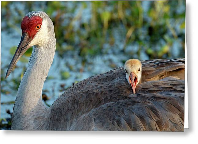 Sandhill Crane On Nest With Baby Greeting Card by Maresa Pryor