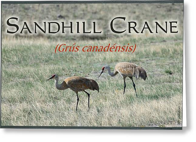 Sandhill Crane Poster Greeting Card by Kae Cheatham
