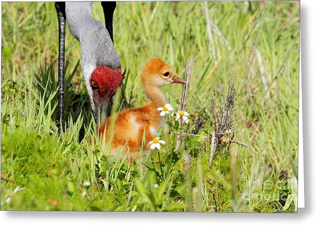 Sandhill Crane With Colt Greeting Card