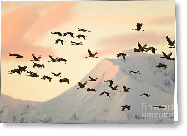 Sandhill Cranes And Mt Denali At Sunrise Greeting Card by Yva Momatiuk John Eastcott
