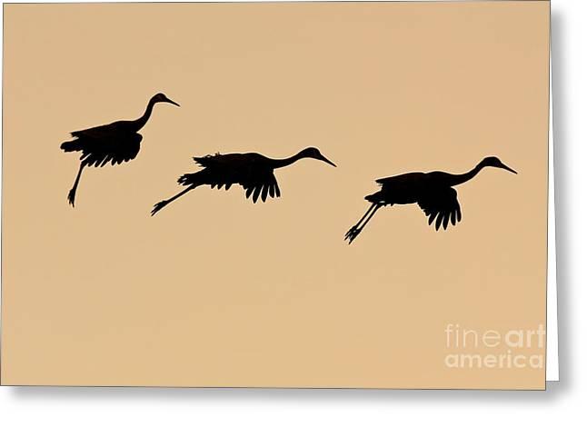 Sandhill Cranes At Sunset Greeting Card by CK Lorenz