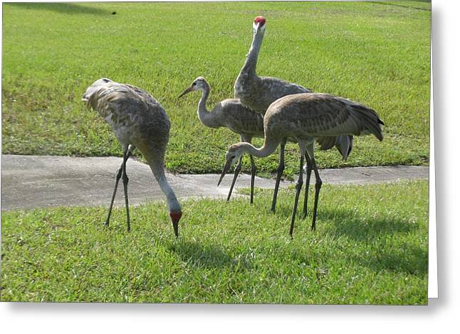 Sandhill Cranes Family Greeting Card by Zina Stromberg