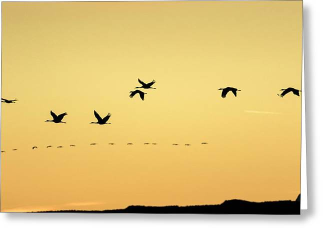 Sandhill Cranes Flying At Sunset Greeting Card by Maresa Pryor