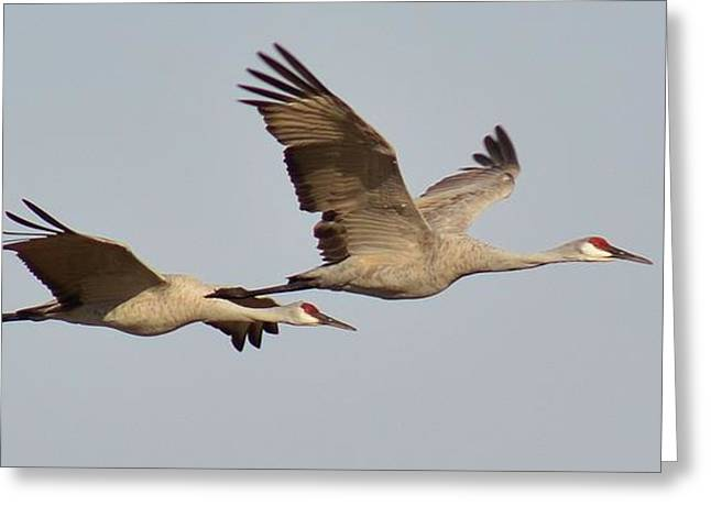 Sandhill Cranes In Flight Greeting Card by Sara Edens