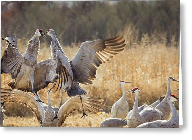 Sandhill Cranes In The Corn Fields Greeting Card by Maresa Pryor
