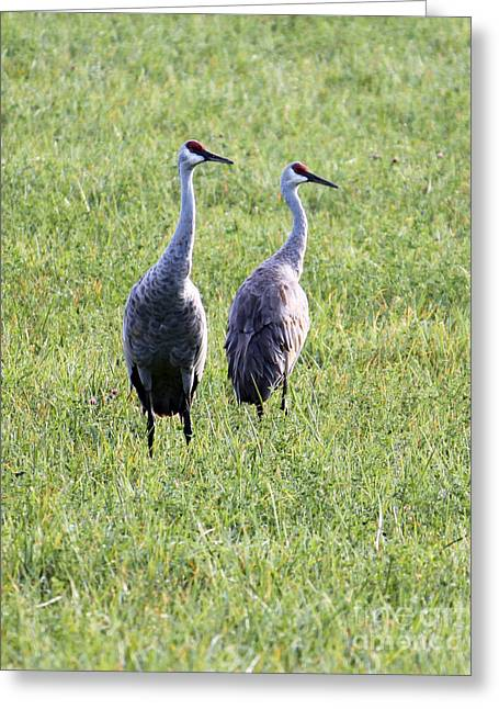 Greeting Card featuring the photograph Sandhill Cranes In Wisconsin by Debbie Hart