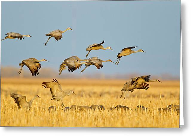 Sandhill Cranes Land In Corn Fields Greeting Card by Chuck Haney