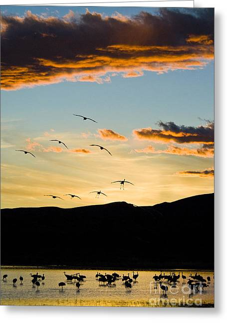 Sandhill Cranes In New Mexico Greeting Card by William H Mullins