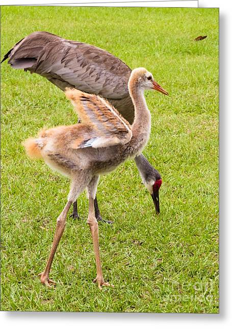 Sandhill Cranes Walking Around Greeting Card by Zina Stromberg