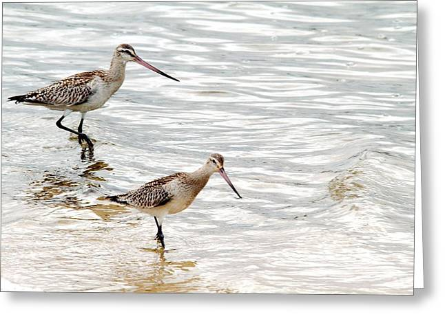 Sandpipers Foraging Greeting Card