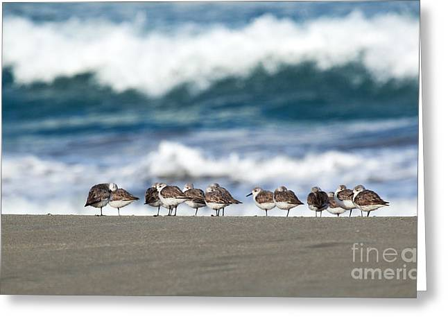 Sandpipers Keeping Warm On A Very Cold Day At The Beach Greeting Card