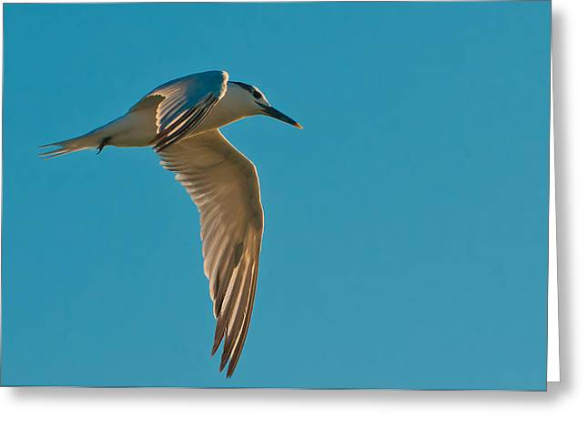 Sandwich Tern In Flight Greeting Card by Rich Leighton