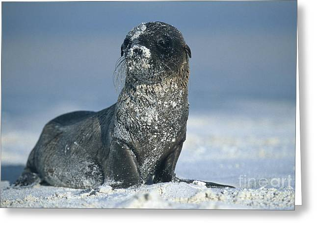 Greeting Card featuring the photograph Sandy Sea Lion by Chris Scroggins