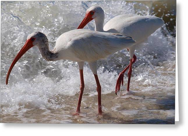 Sanibel White Ibis Greeting Card