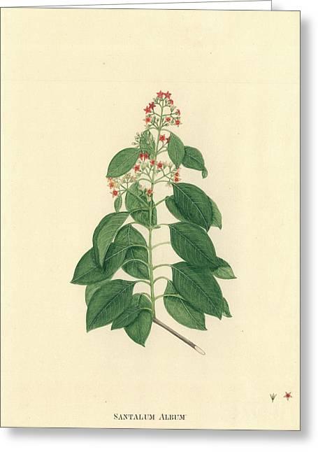 Santalum Album Greeting Card by Natural History Museum, London
