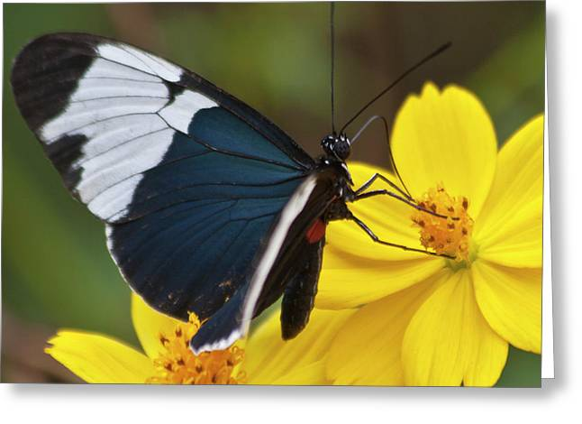 Sapho Longwing Yellow Oriented Greeting Card by Heiko Koehrer-Wagner