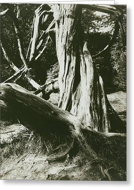 Sapin, Trianon Pine Tree Trunks At The Trianon Eugène Atget Greeting Card by Litz Collection