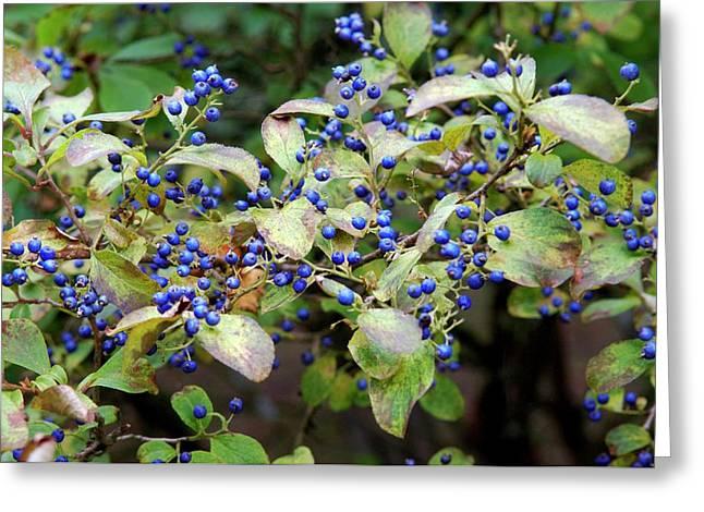 Sapphire Berries (symplocos Paniculata ) Greeting Card