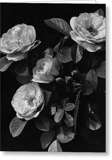 Sarah Van Fleet Variety Of Roses Greeting Card