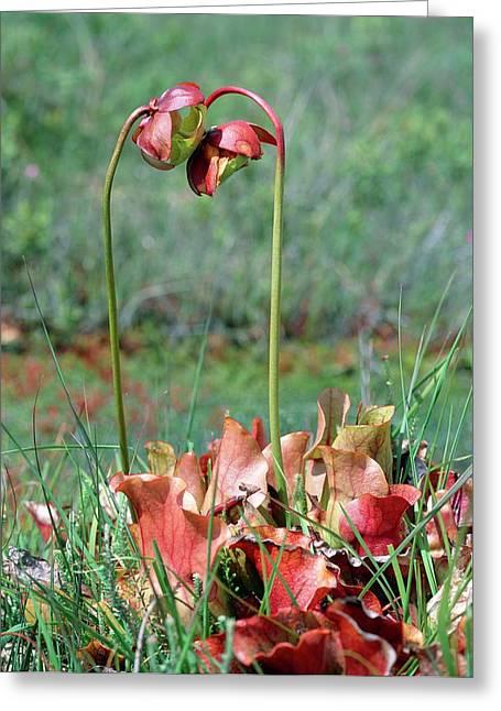 Sarracenia Purpurea Greeting Card by Bob Gibbons/science Photo Library