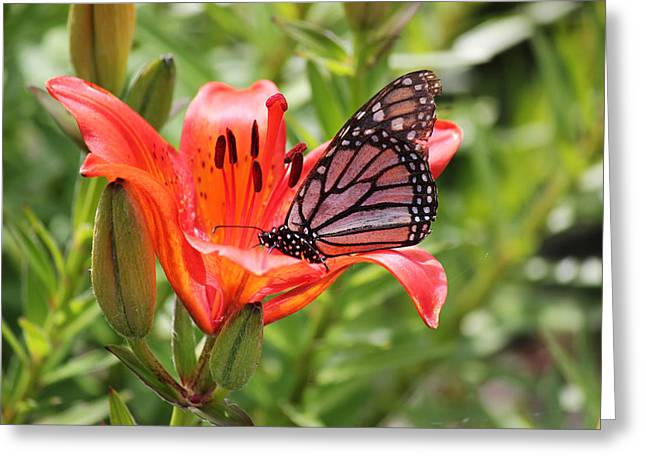 Saskatchewan Prairie Lily And Butterfly Greeting Card