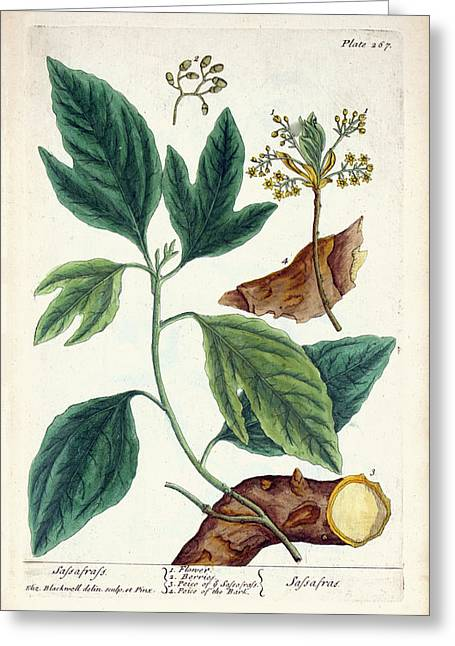 Sassafras Plant Greeting Card by National Library Of Medicine