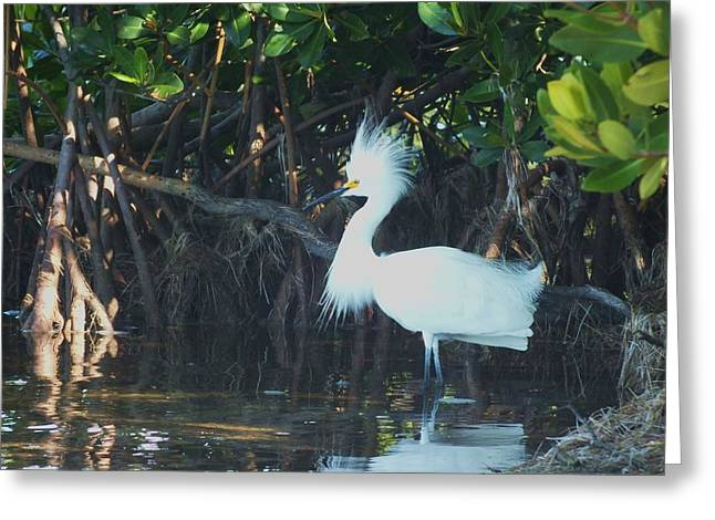 Sassy Snowy Egret Greeting Card by Anna Villarreal Garbis