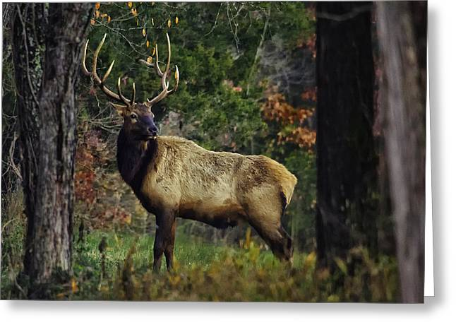 Satellite Bull Along Tree Line Greeting Card
