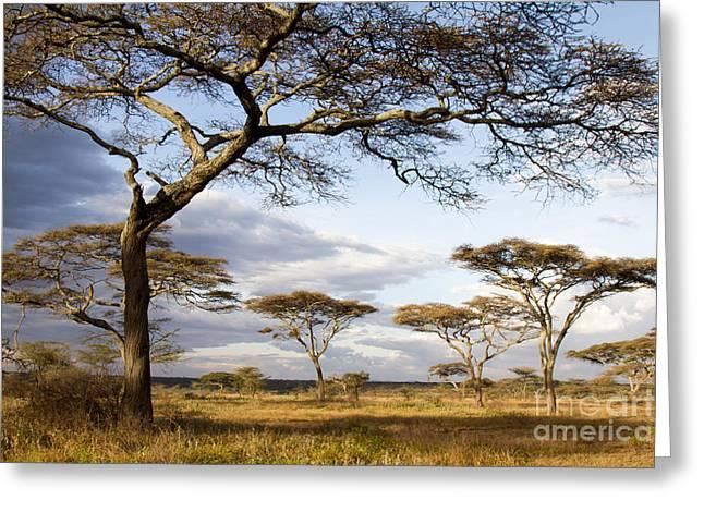 Savanna Acacia Trees  Greeting Card