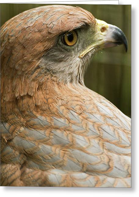 Savannah Hawk, Buteogallus Greeting Card