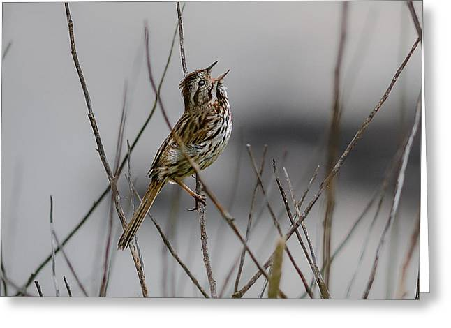 Savannah Sparrow Greeting Card