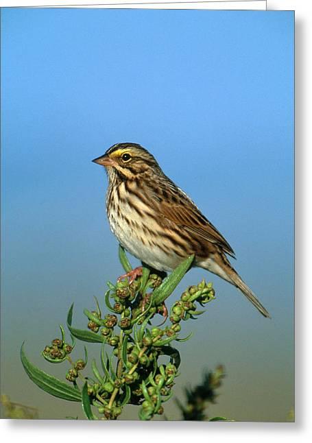 Savannah Sparrow Greeting Card by Paul J. Fusco