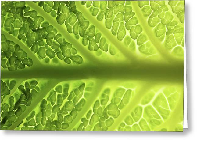 Savoy Cabbage Leaf (detail) Greeting Card