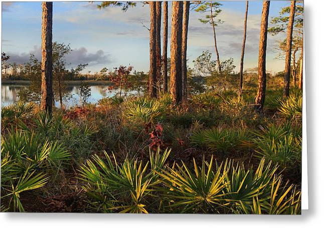 Saw Palmetto And Longleaf Pine Greeting Card by Tim Fitzharris
