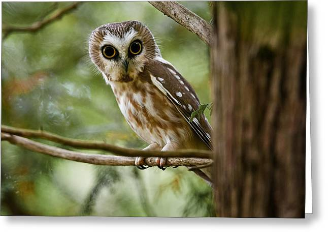 Saw-whet Owl Pictures  10 Greeting Card by Owl Images