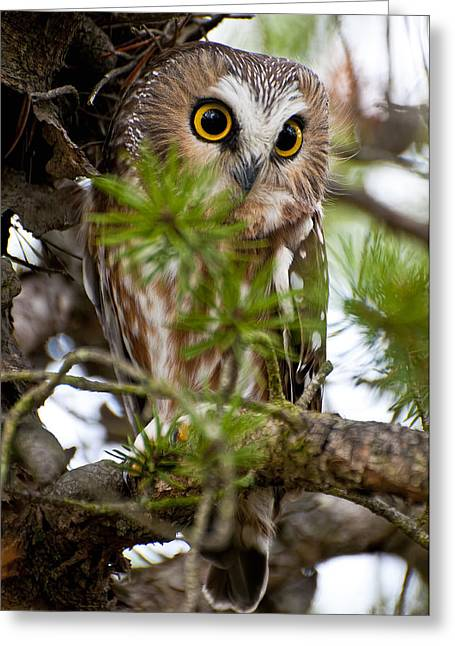 Saw-whet Owl Pictures  11 Greeting Card by Owl Images