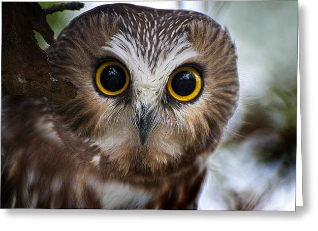 Saw-whet Owl Pictures  12 Greeting Card by Owl Images