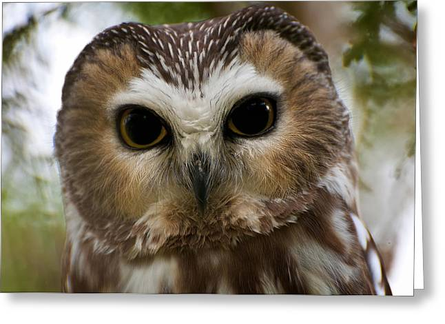 Saw-whet Owl Pictures  13 Greeting Card by Owl Images
