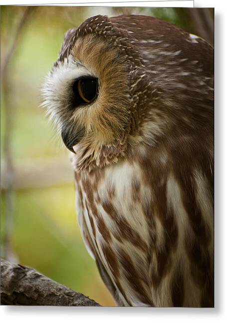 Saw-whet Owl Pictures  14 Greeting Card by Owl Images