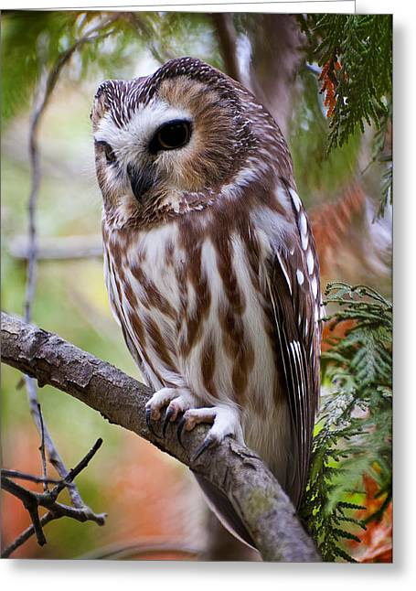 Saw-whet Owl Pictures  15 Greeting Card by Owl Images