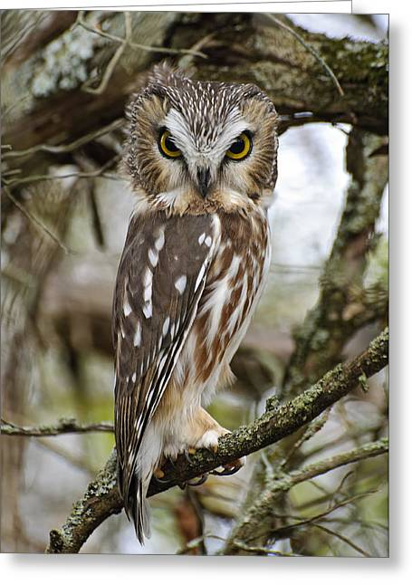 Saw-whet Owl Pictures  7 Greeting Card by Owl Images