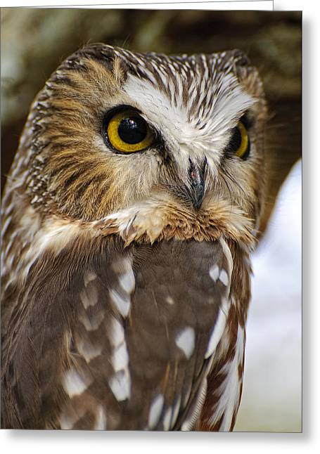 Saw-whet Owl Pictures  8 Greeting Card by Owl Images