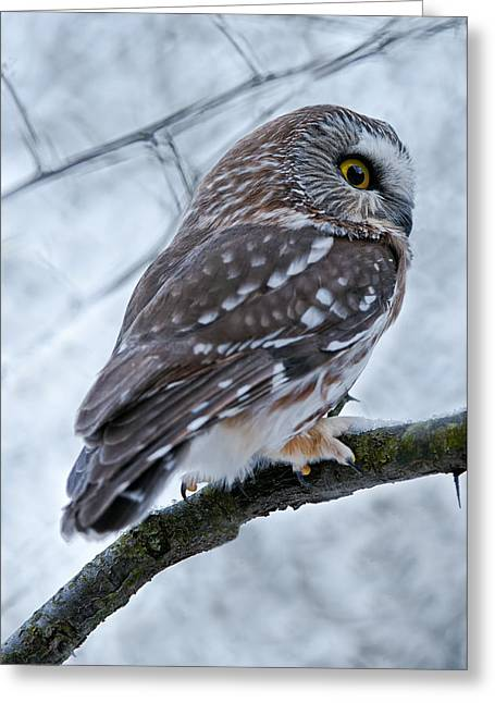 Saw-whet Owl Pictures  9 Greeting Card by Owl Images