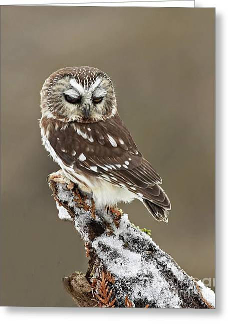Saw Whet Owl Sleeping In A Winter Forest Greeting Card by Inspired Nature Photography Fine Art Photography