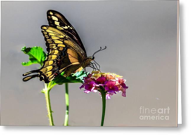 Sawallowtail Butterfly Greeting Card by Robert Bales