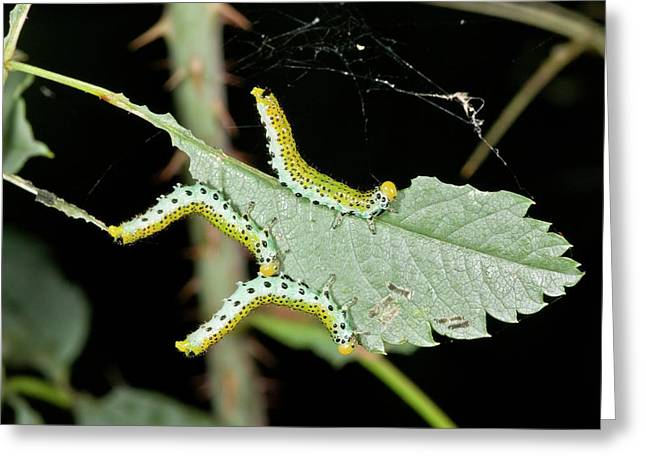 Sawfly Larvae On Rose Leaf Greeting Card