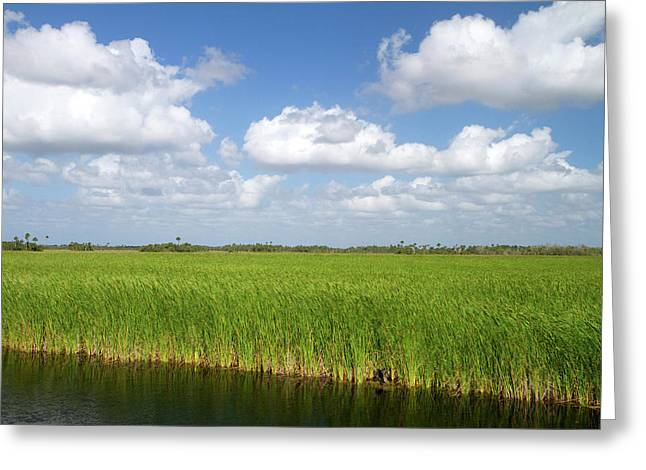 Sawgrass In The Florida Everglades Greeting Card by David R. Frazier