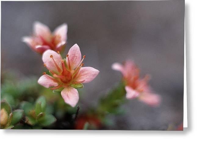 Saxifraga Nathorstii Flowers Greeting Card by Simon Fraser/science Photo Library