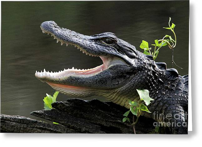 Say Aah - American Alligator Greeting Card