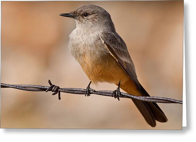 Say's Phoebe On A Barbed Wire Greeting Card
